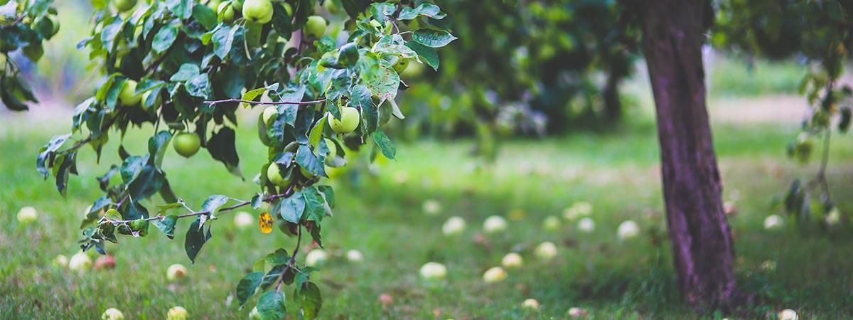 omenapuun istutus oksasta
